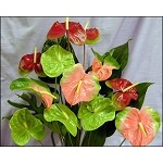 Dozen Anthurium Bouquet